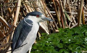 blue-heron-at-Marsh_thumb.jpg